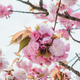branch of blossom pink cherry or sakura in garden - PhotoDune Item for Sale