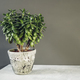 Houseplant Crassula ovata jade plant money tree opposite the wall. - PhotoDune Item for Sale