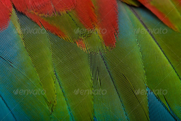 Red-and-green Macaw, close up on feathers - Stock Photo - Images
