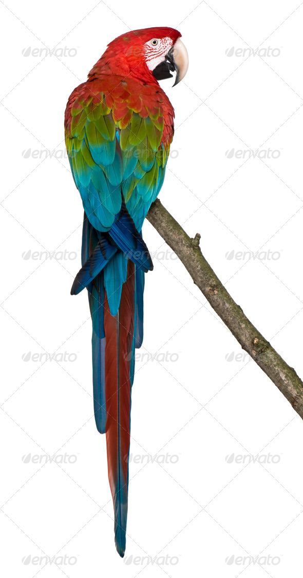 Red-and-green Macaw perching on branch in front of white background - Stock Photo - Images