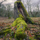 Huge Mossy Root of an Old Hollow Chestnut Tree - PhotoDune Item for Sale