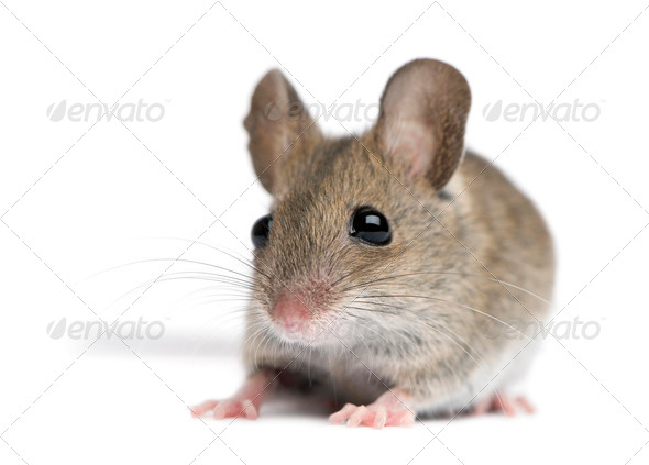 Front view of Wood mouse in front of white background - Stock Photo - Images