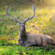 Beautiful male sambar Rusa unicolor deer resting in the Ranthambore National Park, Rajasthan, India - PhotoDune Item for Sale