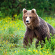 Dangerous brown bear approaching while protecting territory in nature - PhotoDune Item for Sale