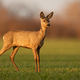 Innocent roe deer doe looking aside from side view on sunny spring evening - PhotoDune Item for Sale