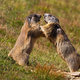 Alpine marmot, marmota marmota, fighting over territory near den entrance - PhotoDune Item for Sale
