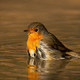 Lovely european robin bathing in water in sunny spring evening - PhotoDune Item for Sale