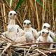 Soft western marsh harrier young chicks sitting in nest on the ground in nature - PhotoDune Item for Sale