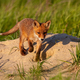 Little red fox walking down the hill in sunny spring nature with copy space - PhotoDune Item for Sale