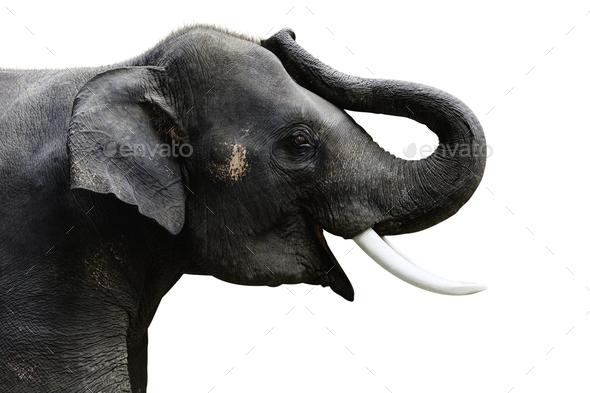Isolated photo of  Elephant - Stock Photo - Images
