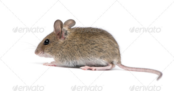 Side view of Wood mouse in front of white background - Stock Photo - Images