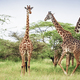 Group of giraffes in Africa - PhotoDune Item for Sale