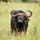 African buffalo in the grass - PhotoDune Item for Sale