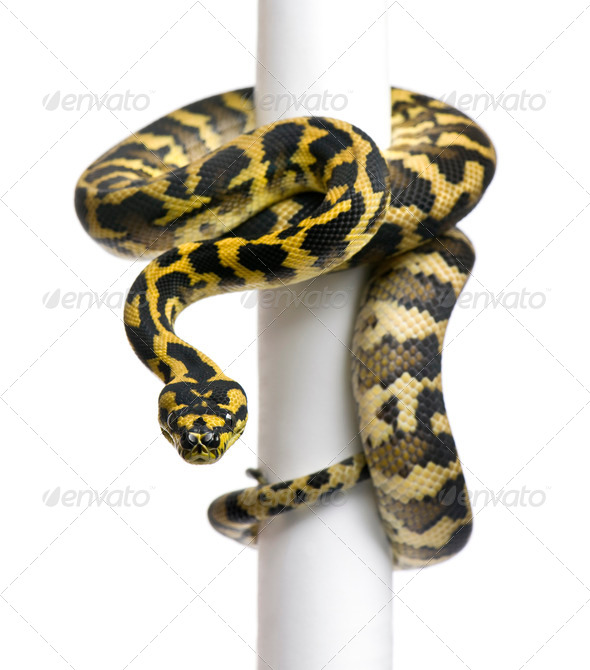 Morelia spilota variegata python, 1 year old, on pole in front of white background - Stock Photo - Images