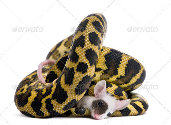 Morelia spilota variegata python, 1 year old, eating mouse in front of white background - Stock Photo - Images