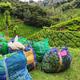 Freshly harvested tea in sacks in Tea plantations near Yellapatty in Munnar, Kerala, India - PhotoDune Item for Sale