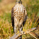 Alert eurasian sparrowhawk facing camera in summer - PhotoDune Item for Sale