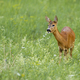 Curios roe deer doe grazing on green meadow with flowers with copy space - PhotoDune Item for Sale