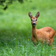 Cute female roe deer with big black eyes listening on green meadow - PhotoDune Item for Sale