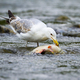 Large caspian gull feeding on a fish in stream with cold water in nature - PhotoDune Item for Sale