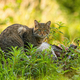 Curious european wild cat hiding in green vegetation in forest - PhotoDune Item for Sale