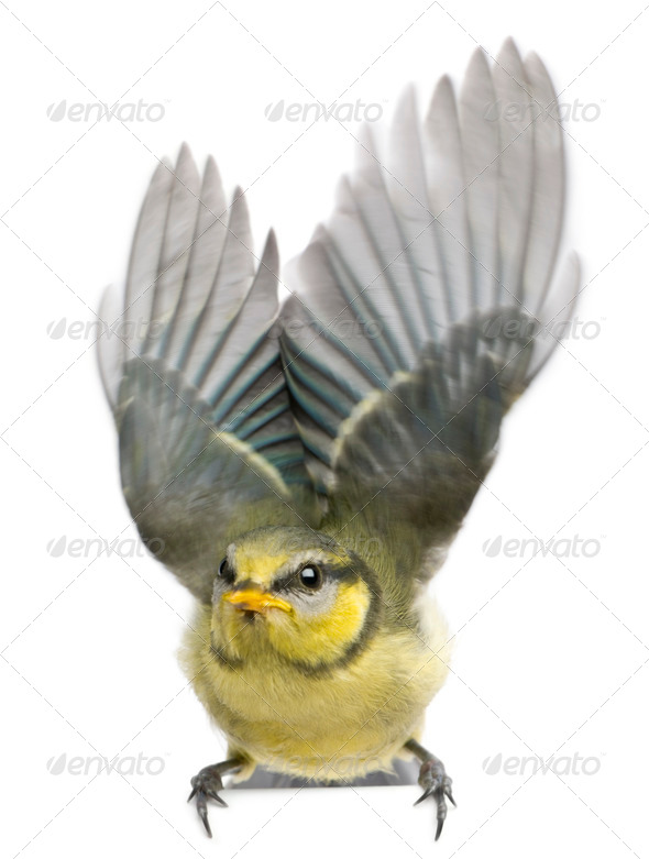 Blue Tit, 23 days old, flapping wings against white background - Stock Photo - Images
