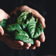 healthy eating, dieting, vegetarian food and people concept close up of woman hands holding spinach - PhotoDune Item for Sale