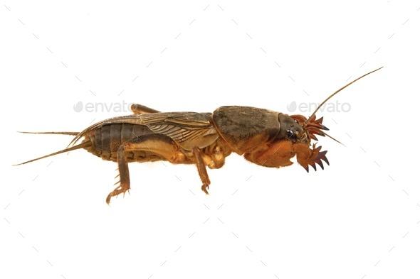 European mole cricket isolated on a white background. - Stock Photo - Images