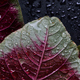 Water drops on the red amaranth leaves - PhotoDune Item for Sale
