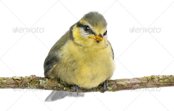 Blue Tit, 23 days old, perching on branch against white background - Stock Photo - Images