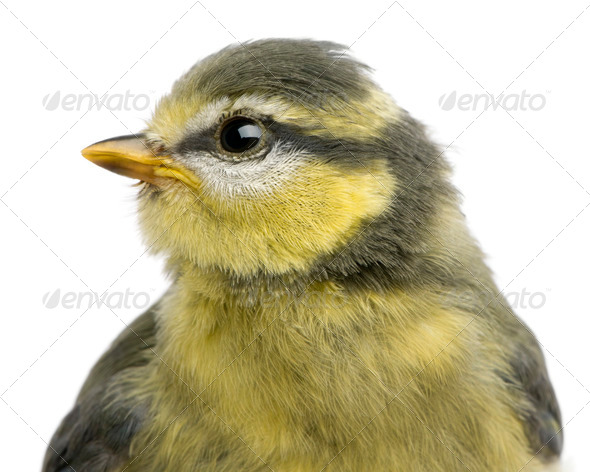 Blue Tit, 23 days old, close up against white background - Stock Photo - Images