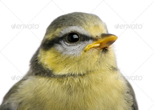 Young Blue Tit, Cyanistes caeruleus, 23 days old, in front of white background - Stock Photo - Images