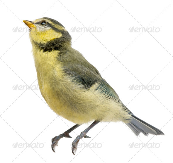 Blue Tit, 23 days old, perched against white background - Stock Photo - Images