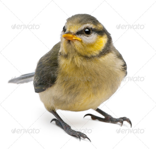 Blue Tit, Cyanistes caeruleus, 23 days old, standing in front of white background - Stock Photo - Images