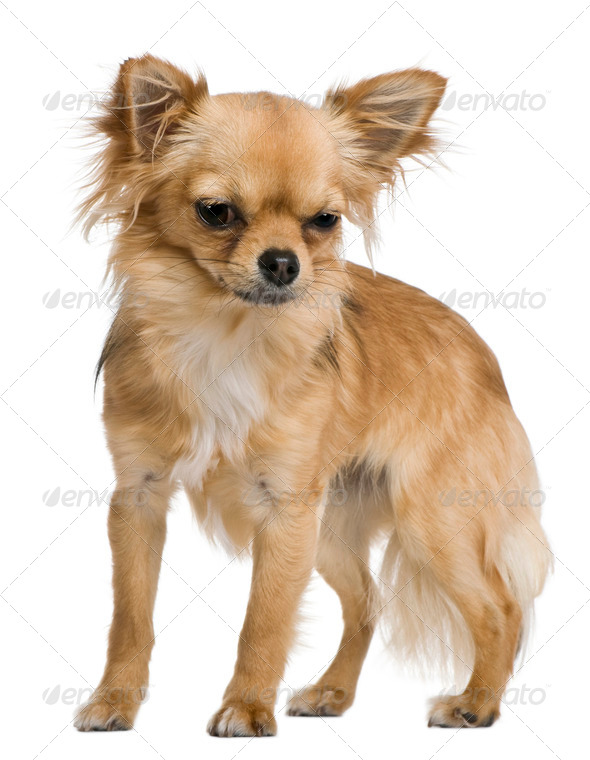 Chihuahua, 12 months old, standing in front of white background - Stock Photo - Images