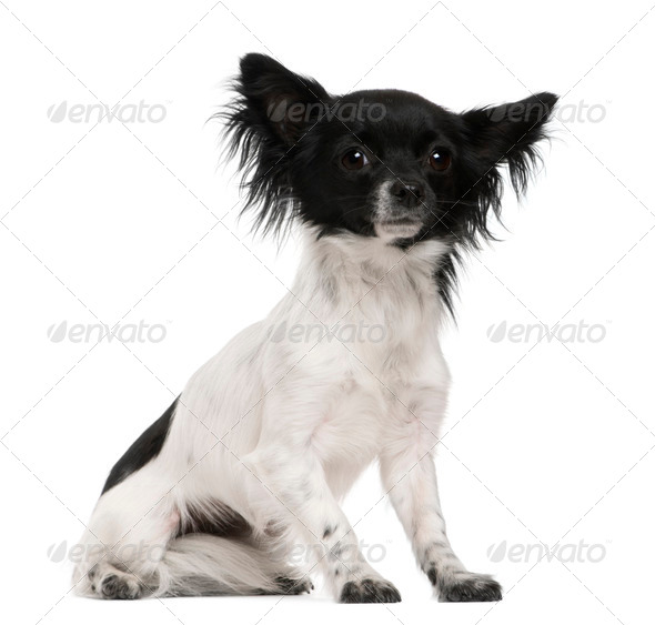 Chihuahua, 2 years old, sitting in front of white background - Stock Photo - Images