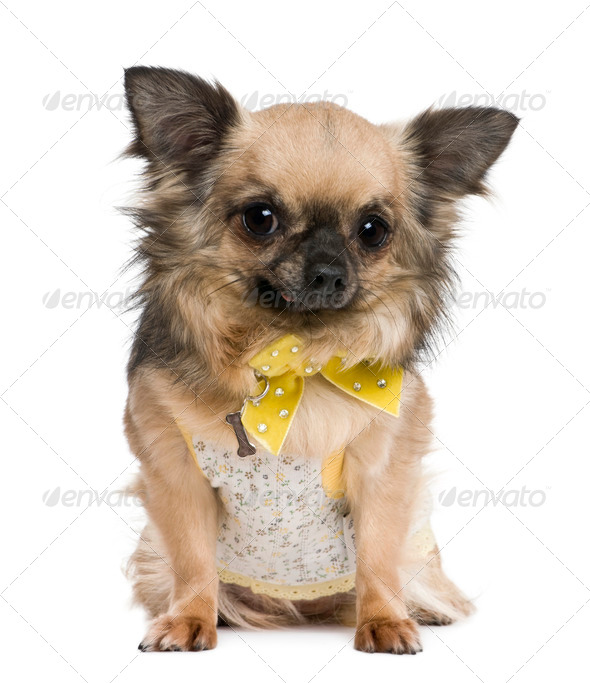 Chihuahua, 4 years old, dressed in yellow bow in front of white background - Stock Photo - Images