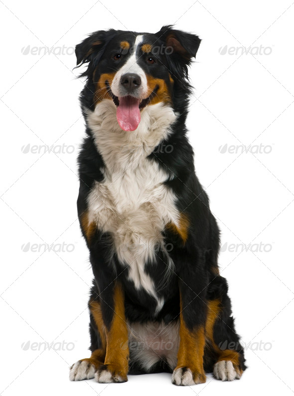 Bernese mountain dog, 18 months old, in front of white background - Stock Photo - Images