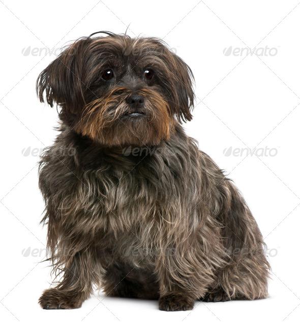 Mixed-breed, 10 years old, in front of white background - Stock Photo - Images