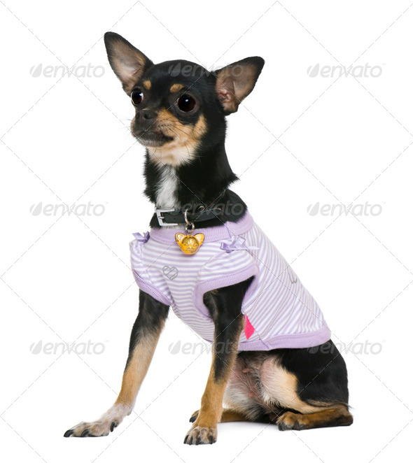 Chihuahua, 2 years old, dressed, in front of white background - Stock Photo - Images