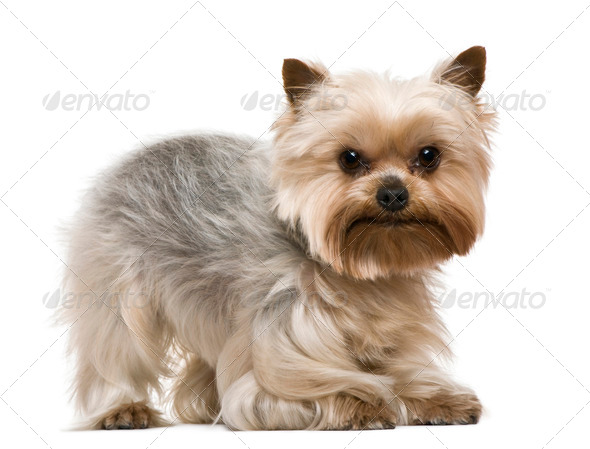 Yorkshire terrier, 3 years old, in front of white background - Stock Photo - Images
