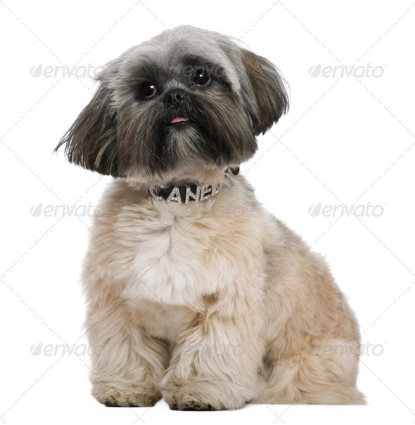 Shih Tzu, 13 months old, in front of white background - Stock Photo - Images