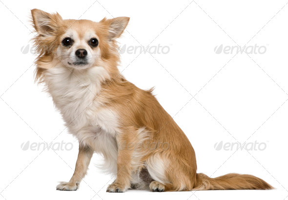 Chihuahua, 2 years old, in front of white background - Stock Photo - Images