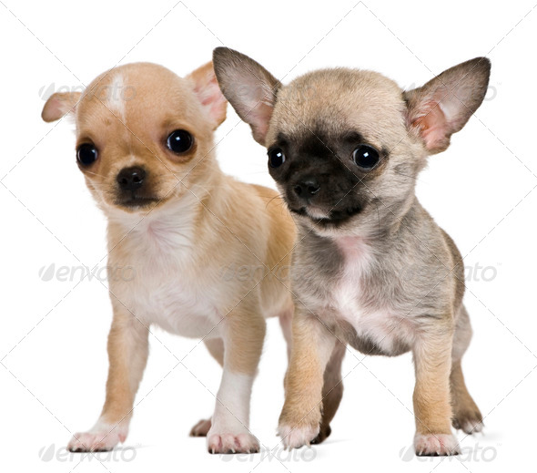 Two chihuahua puppies, 2 months and 3 months old, in front of white background - Stock Photo - Images