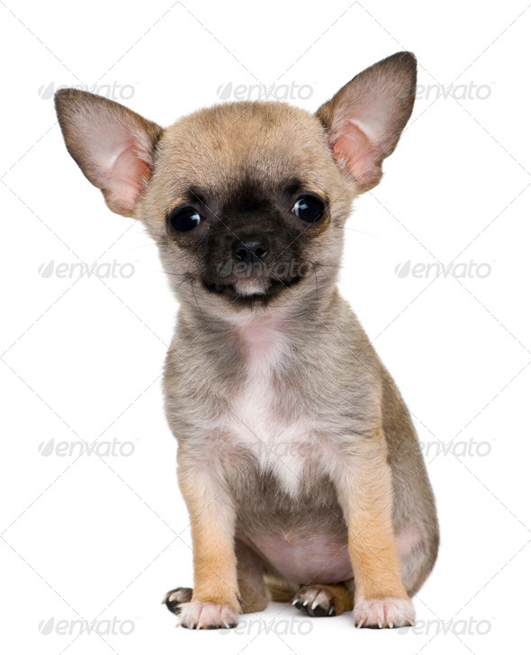 Chihuahua puppy, 3 months old, in front of white background - Stock Photo - Images