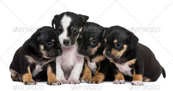 Group of mixed-breed puppies, 1 month old, in front of white background - Stock Photo - Images