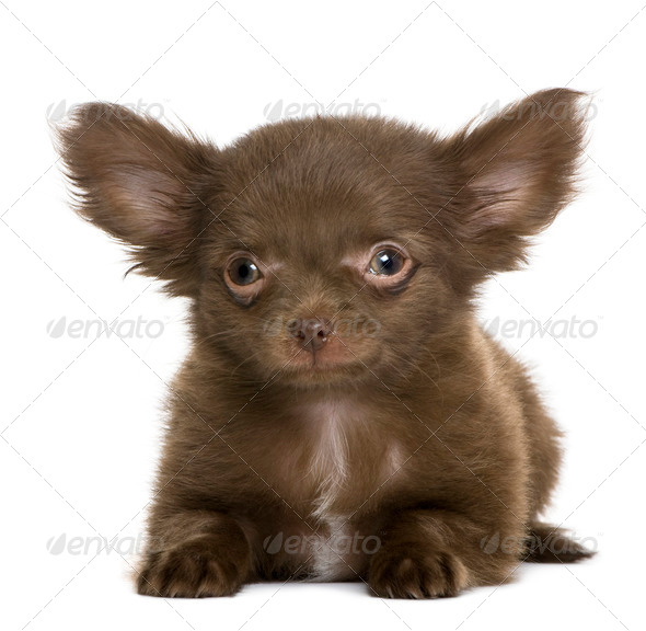 Chihuahua puppy, 5 months old, in front of white background - Stock Photo - Images