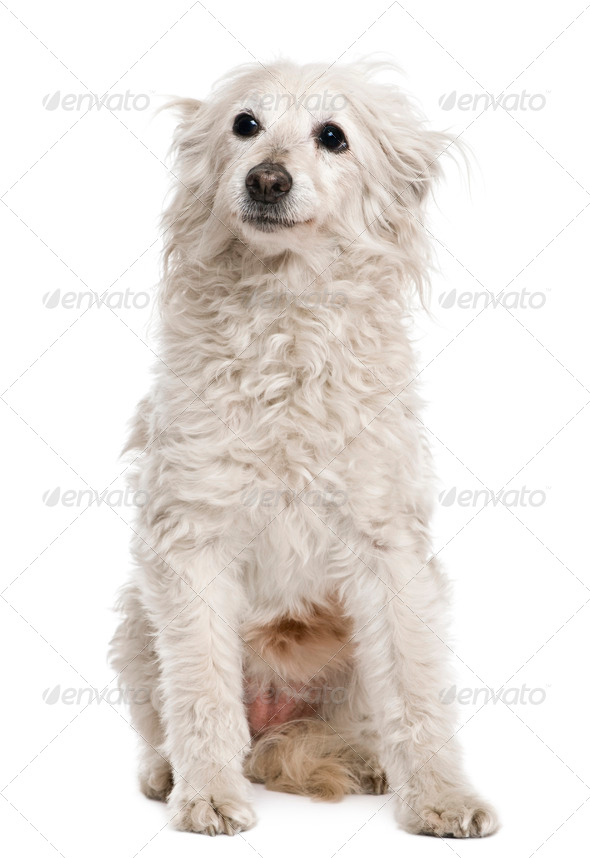 Old mixed-breed dog, 11 years old, in front of white background - Stock Photo - Images