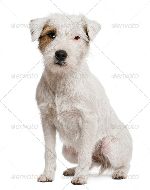 Parson russel terrier, 2 years old, in front of white background - Stock Photo - Images