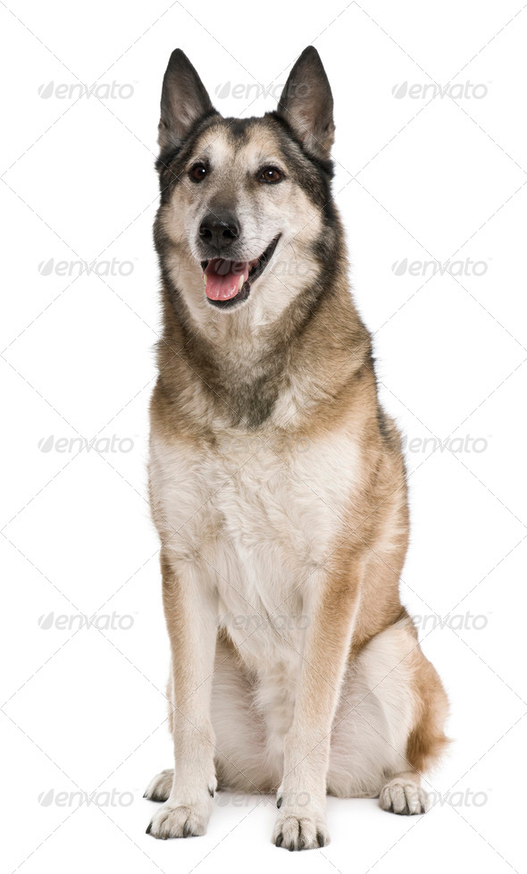 Mixed-breed, 11 years old, in front of white background - Stock Photo - Images